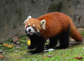 一組憨態可掬的小熊貓圖片