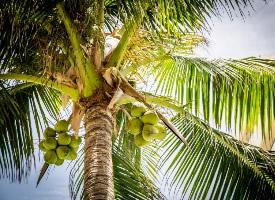 一組掛在樹上的椰子圖片