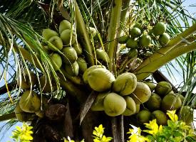 一組綠色椰子圖片