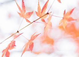 唯美秋季楓葉圖片手機壁紙