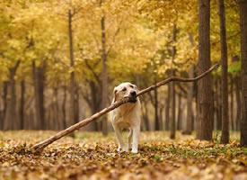 """每个拉布都有一个梦想:捡一根""""小树枝""""回家"""