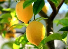 其味道極酸的檸檬水果圖片