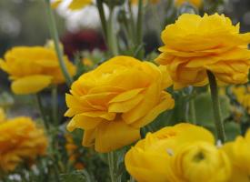 花香迷人的黃色牡丹圖片