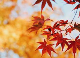 秋日唯美枫叶摄影图片手机壁纸