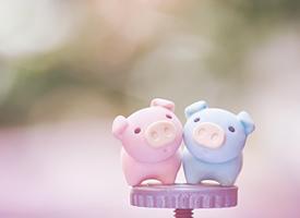 可愛軟萌的小豬靜物圖片桌面壁紙