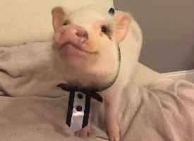 萌萌噠的迷你豬hank