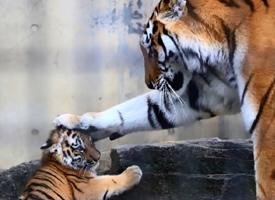 茶臼山動物園的小老虎太奶了吧