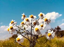 一組唯美小清新的雛菊花圖片欣賞