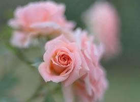 一组漂亮的蔷薇花开图片欣赏