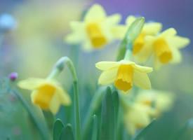 一组清新唯美的白色水仙花图片欣赏