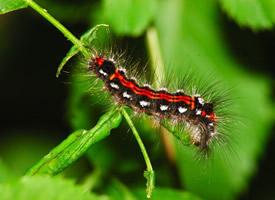 有毒性的毛毛虫特写图片欣赏