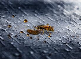 一组毒性特别强的大黄蜂图片