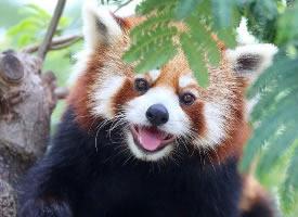攝影師鏡頭下的小熊貓,萌翻了