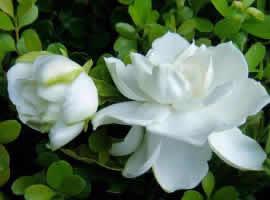 一组白色纯洁的栀子花图片