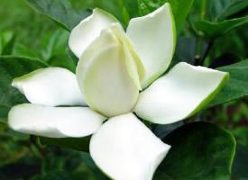 栀子花的花语——永恒的爱