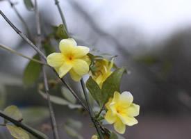 一組喜光耐陰的迎春花圖片欣賞