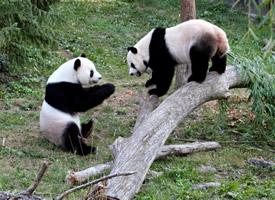一组胖嘟嘟可爱的熊猫图片