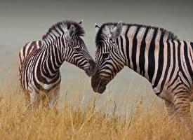 食草动物斑马图片