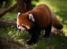 漂亮可愛的小熊貓圖片