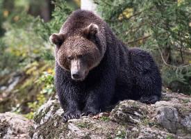 大型野生动物棕熊图片