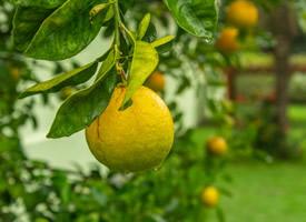 一組樹上未成熟的檸檬圖片
