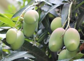 肉質細膩且氣味香甜的芒果圖片