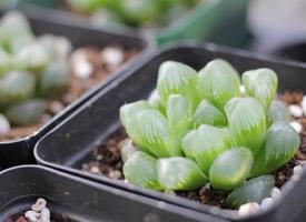 綠色植物黑肌玉露多肉圖片