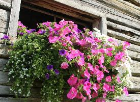 種在窗戶上的花朵圖片