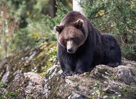 憨态可掬的野生棕熊图片