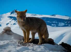 一组可爱的小狐狸高清图片