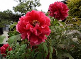 一組顏色艷麗的芍藥花圖片