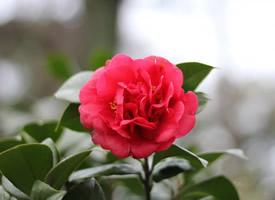 花色鮮艷的紅露珍山茶花圖片