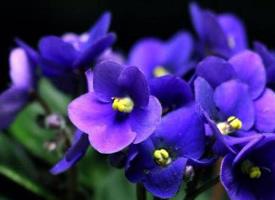 鮮艷的非洲紫羅蘭圖片