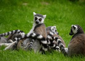 一组机灵可爱的环尾狐图片欣赏