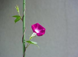一組顏色鮮艷的喇叭花圖片