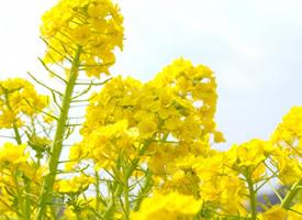 金灿灿的成片油菜花图片