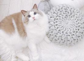 日本博主家布偶貓小仙女Meria圖片