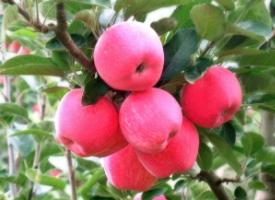 樹上的紅蘋果圖片
