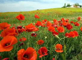 一组唯美的罂粟花图片