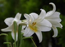 一組純潔優雅的白色百合花圖片