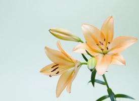 清新優雅的百合花護眼壁紙圖片