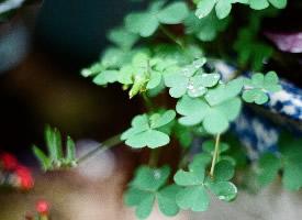 绿色护眼四叶草壁纸图片