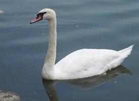 在水中游玩的美丽白天鹅图片