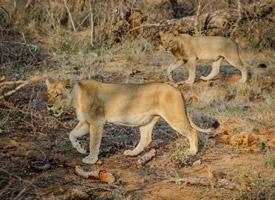 一組兇猛威武的母獅子圖片欣賞