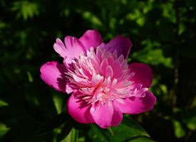 一組花色鮮艷的粉色牡丹花圖片欣賞