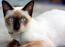 善解人意的暹罗猫图片