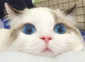 溫順可愛的布偶貓圖片