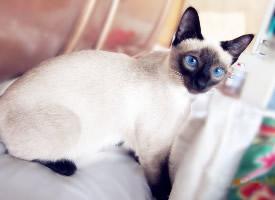 暹羅貓—泰國皇宮出來的貴族貓