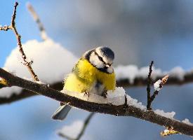 娇小的山雀图片欣赏