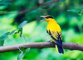 一組可愛小巧的黃鸝鳥圖片